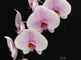 Teeltsturing op plantniveau: Phalaenopsis