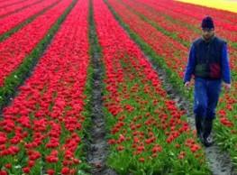 Ziekzoeken in tulpen voor nederlandse en poolstalige medewerkers.